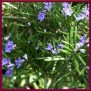wild rosemary lable